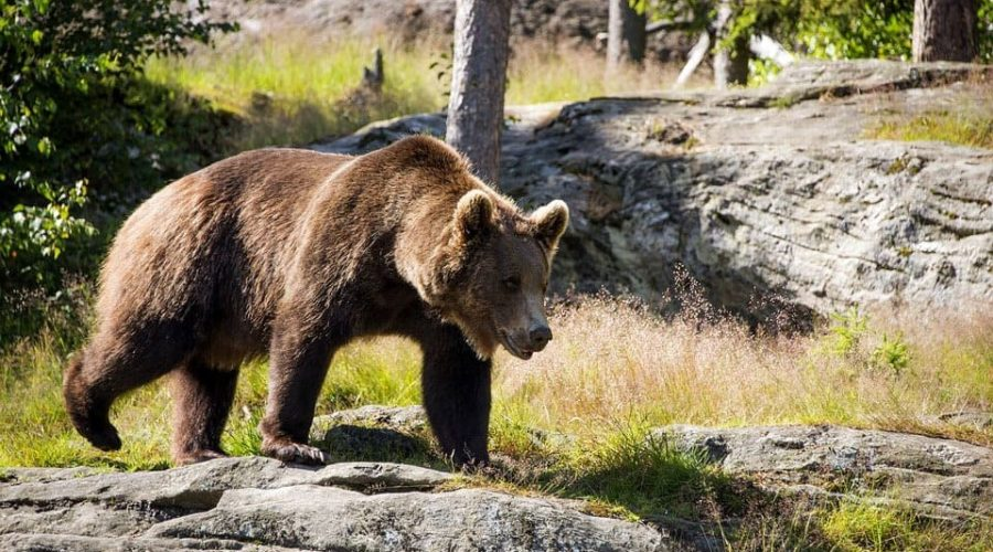 бурый медведь - символ Байкало-Ленского заповедника