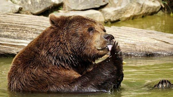 бурый медведь в воде